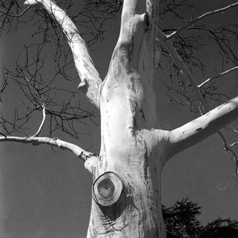 White Tree, Franklin Square