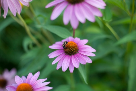 Bee, Cone Flower