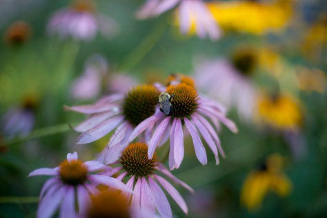 Bee, Cone Flowers