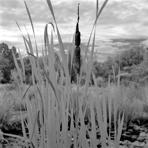 Cattails, Kenilworth Gardens