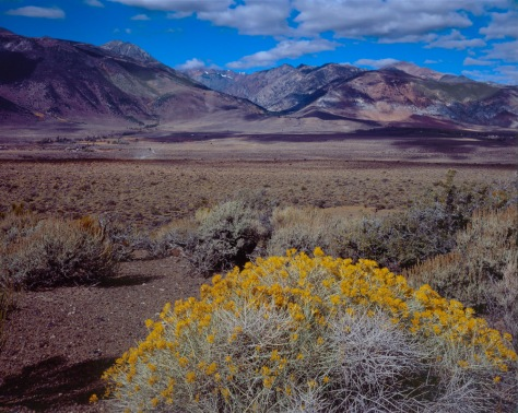 Golden Bush, Mono Lake