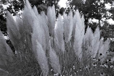 Grasses, Evening Light, Glen Echo