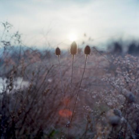 Winter Thistles