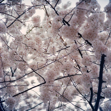 Cherry Blossoms, 2015