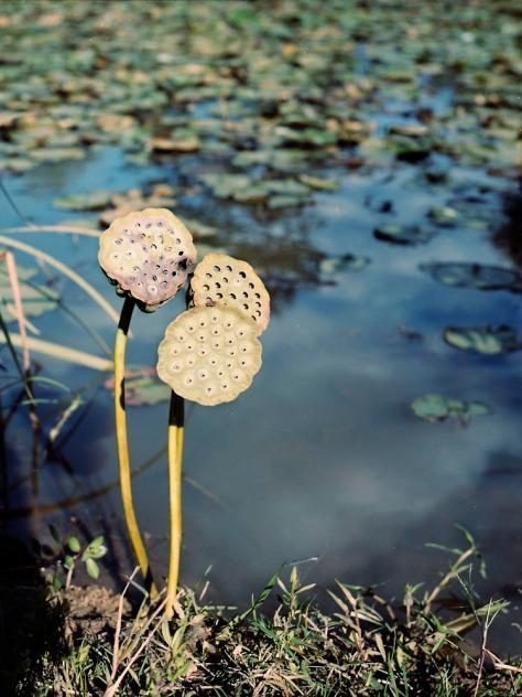 Lotus Pod Trio