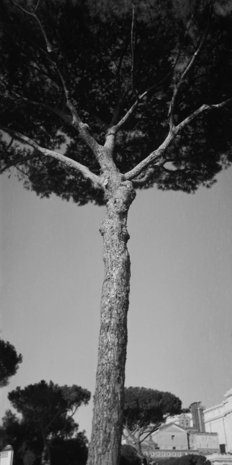Umbrella Pine, Via Fori Imperiali