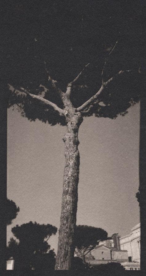 Roman Umbrella Pine